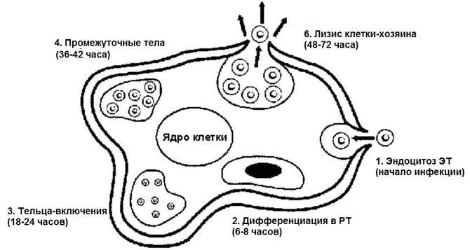 Внутреннее строение мочевого пузыря thumbnail