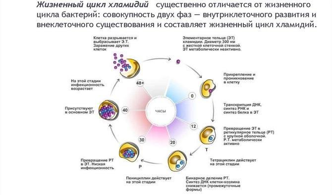 Цикл размножения хламидий