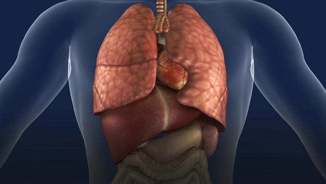 Анатомия органов