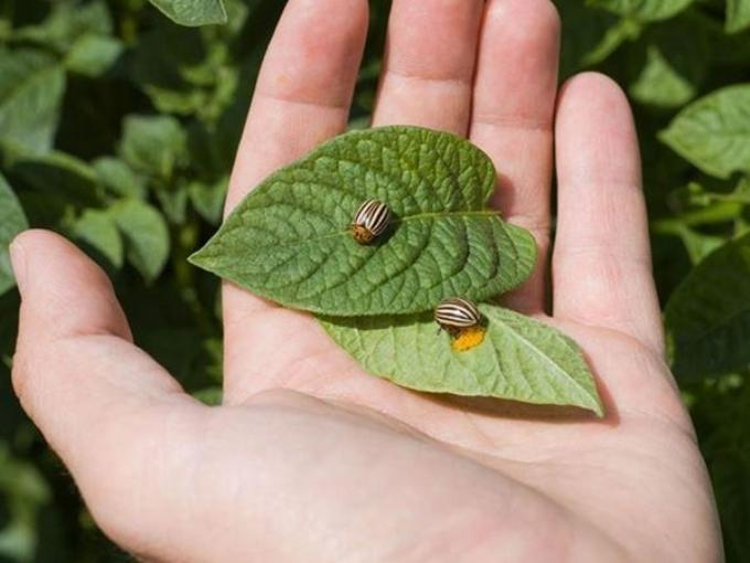 Колорадский жук на листе картофеля