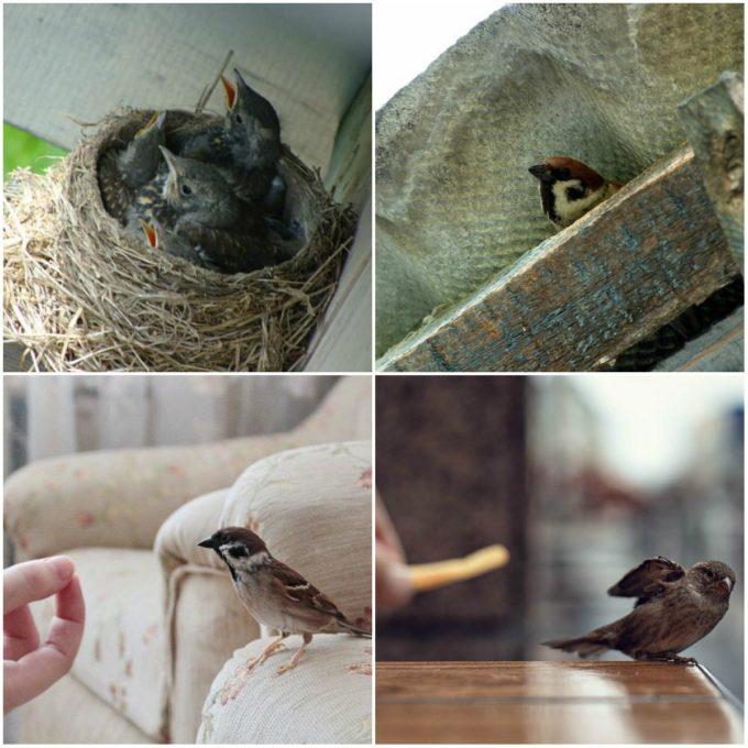 Воробьи свили гнездо