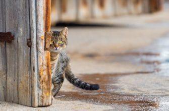 Серый кот выглядывает из-за двери
