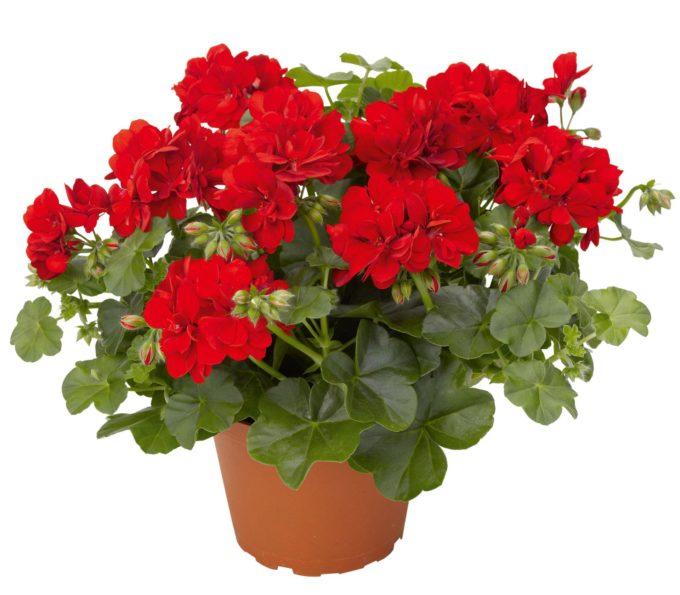Красивый красный цветок