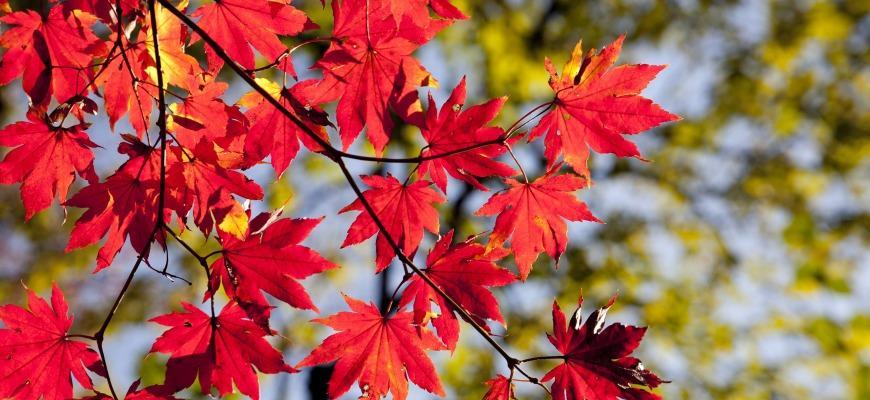 Красные листья на дереве
