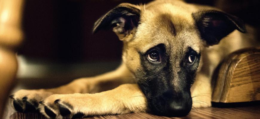 Грустный щенок