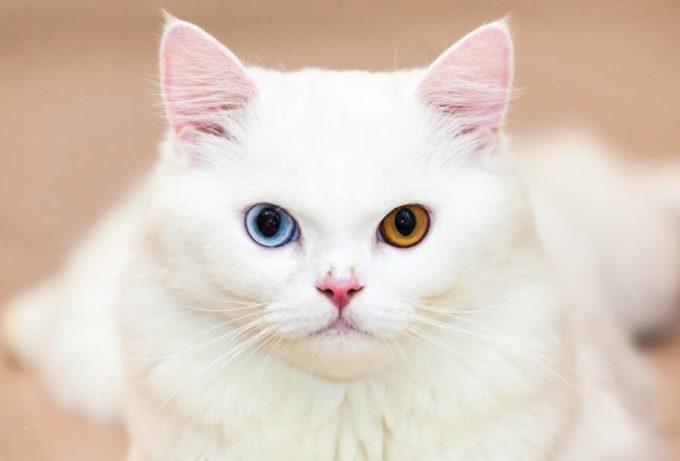 У кошки разные глаза