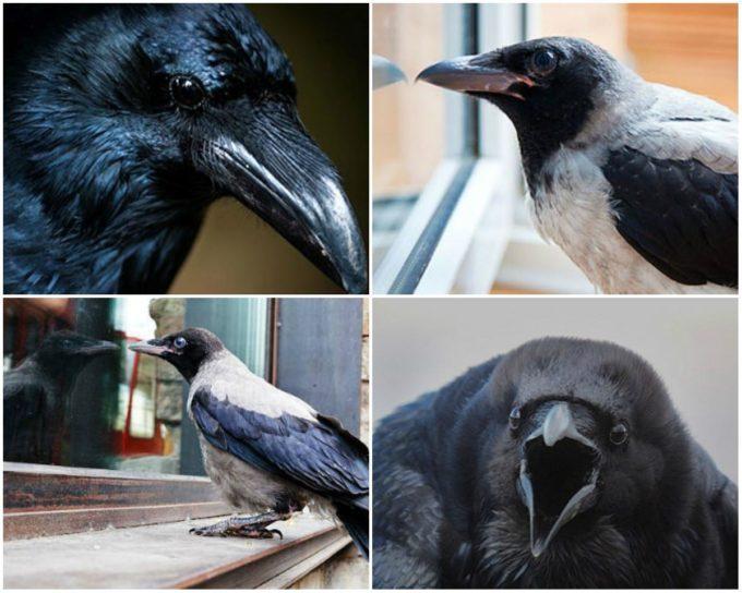 Ворона на подоконнике