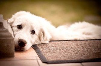 Белый пес с грустными глазами