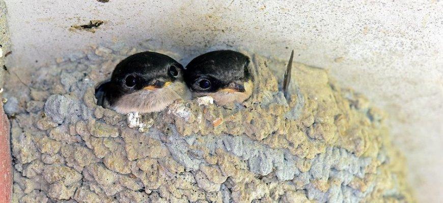 Птенцы ласточки