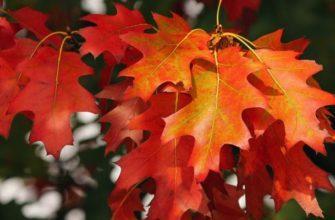 Красные дубовые листья