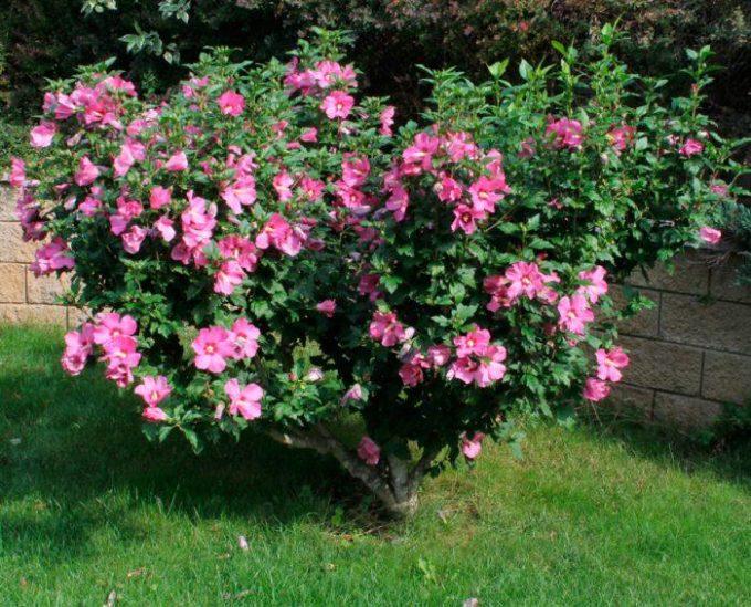 Сирийская роза