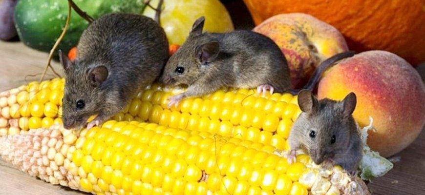 Мыши грызут кукурузу