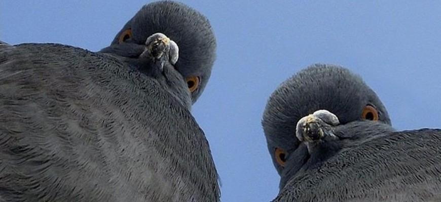 Голуби смотрят вниз