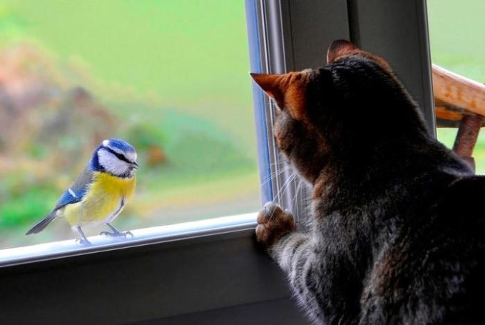 Кошка охотится на синичку
