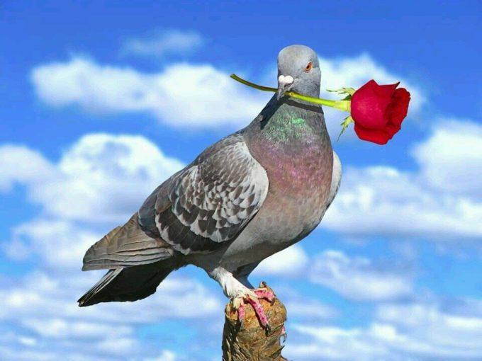 Голубь с цветком в клюве
