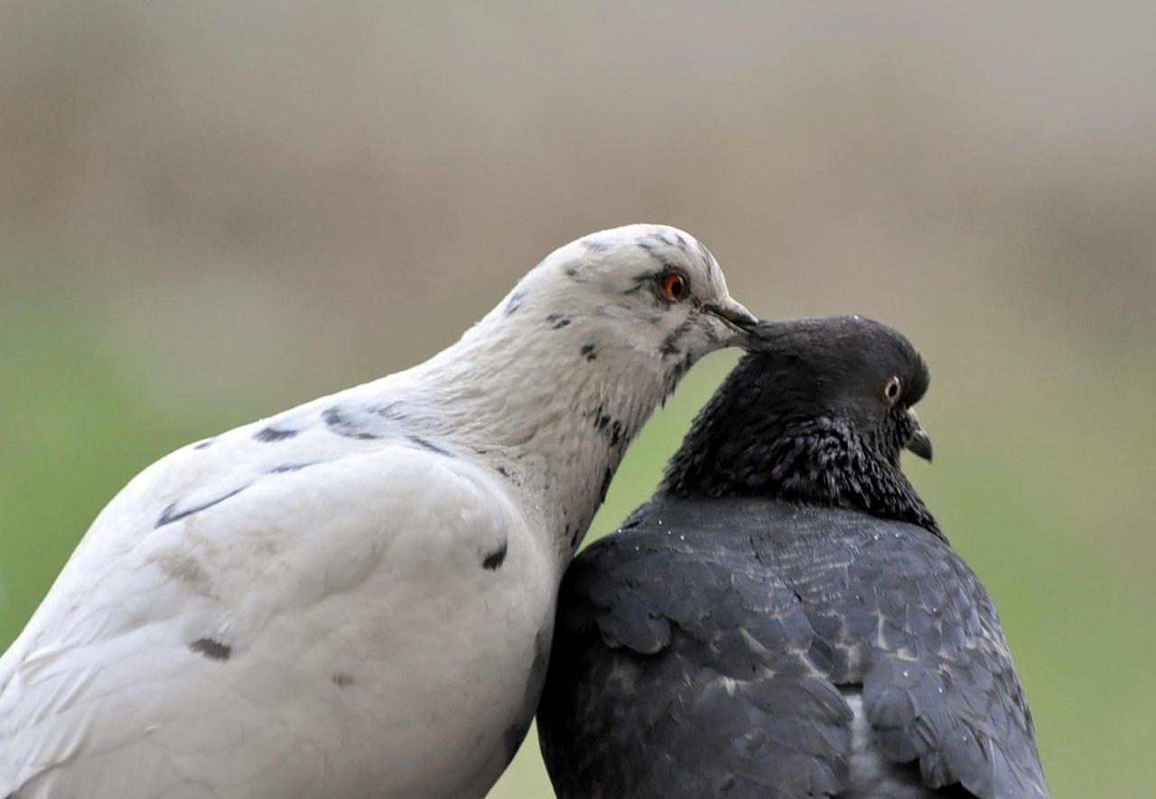 белый и сизый голуби