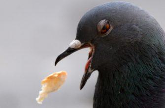 голубь с едой