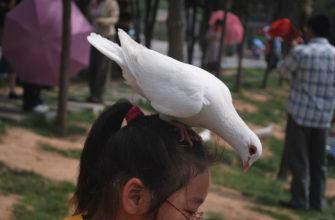 голубь сел на голову примета