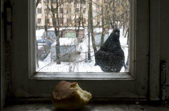 голубь стучит в окно