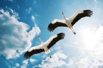 Два аиста в небе