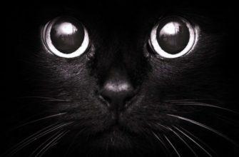 Морда черной кошки