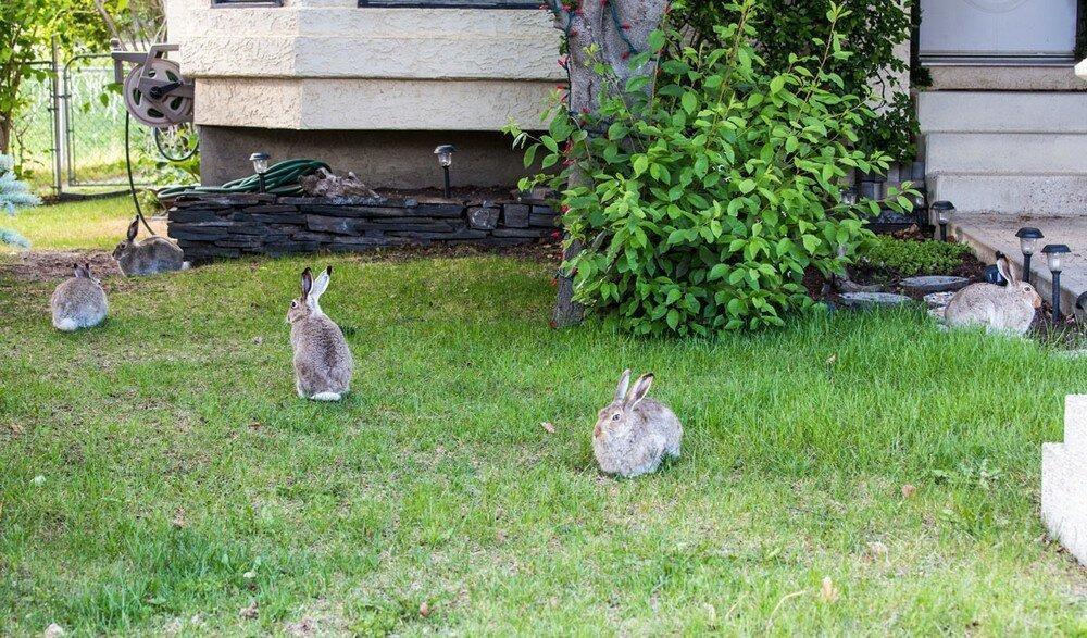 зайцы у дома