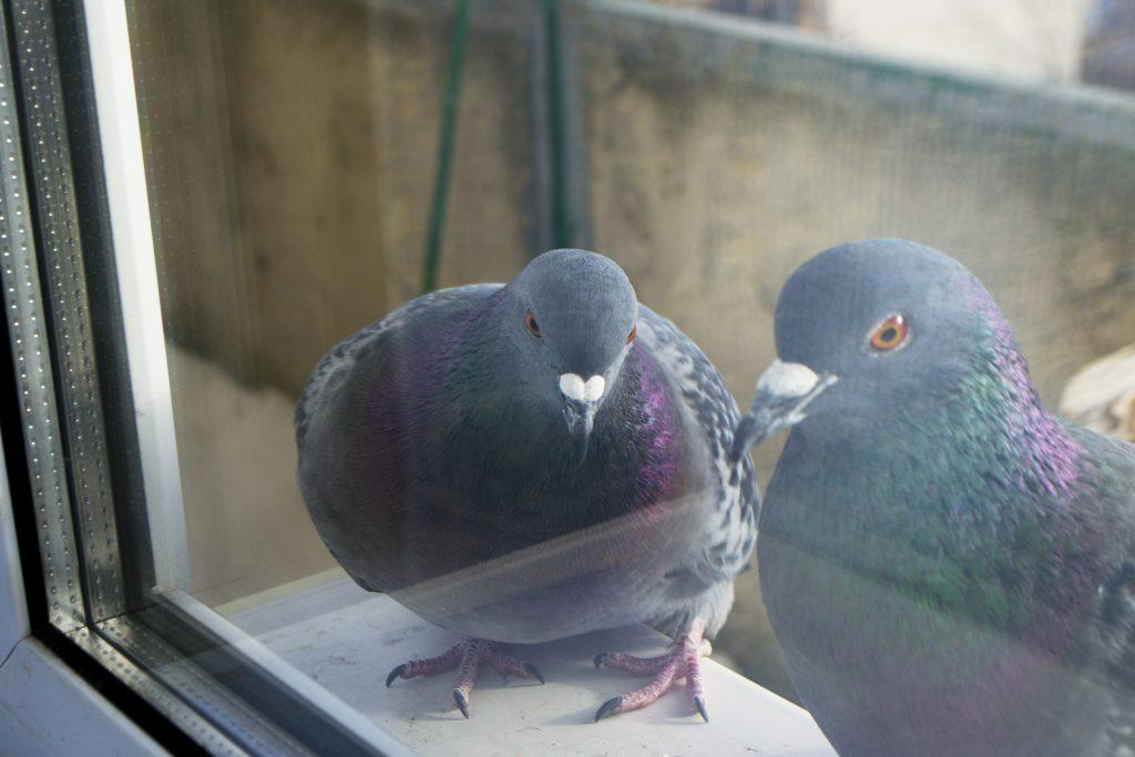 голуби на подоконнике