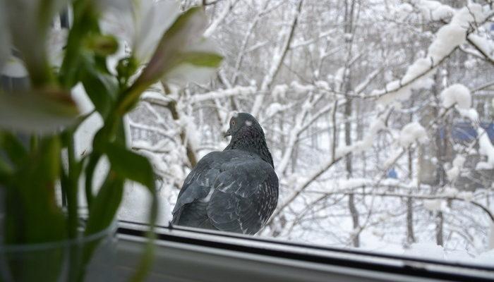 к чему стучится голубь в окно